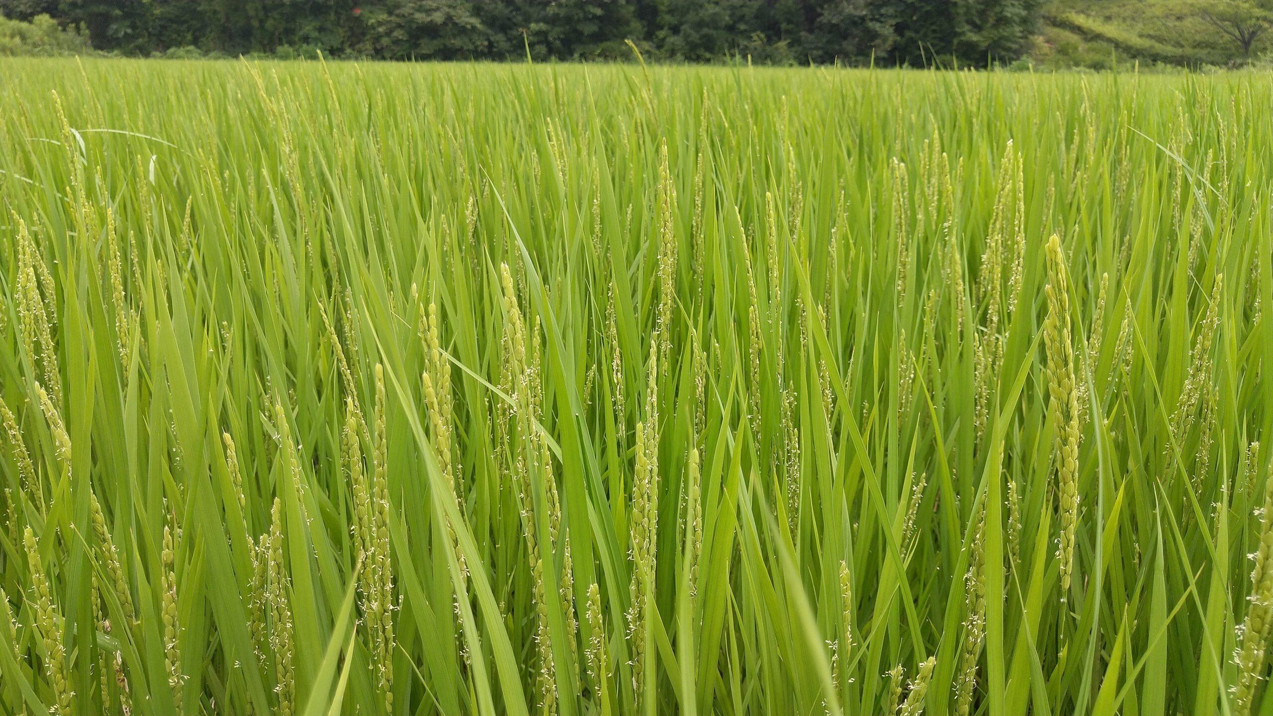 稲の花(7月)